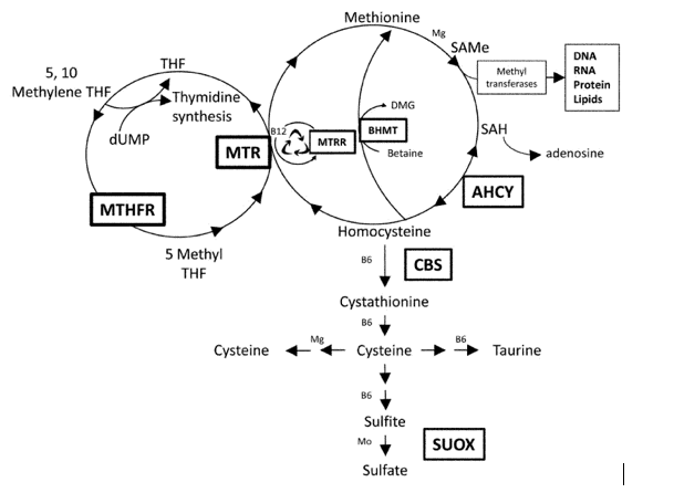 Part 3: (Homocysteine) The BHMT Pathway