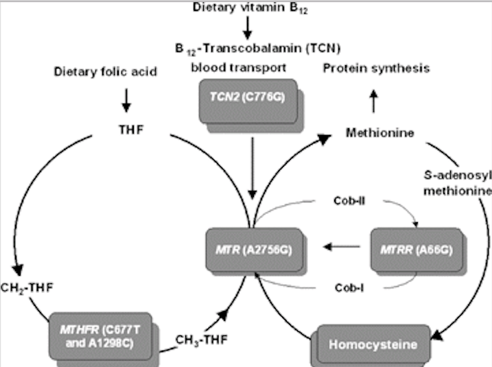 Part 2: The Four Pathways of Homocysteine – Are One Or More of Your Pathways Blocked?